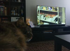 Rufus-kissa katsoo dokumenttielokuvaa Istanbulin kissat.