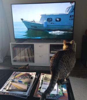 Isla-kissa katsoo dokumenttielokuvaa Istanbulin kissat.