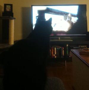 Laku-kissa katsoo dokumenttia Istanbulin kissat.