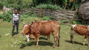 Etiopialainen tyttö lehmien kanssa pihalla