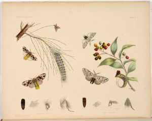 Tandspinnare från Australien tecknade av Harriet Morgan.