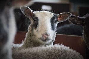 Ett lamm kikar rakt in i kameran