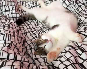 Kissa venyttelee selällään sängyllä maaten
