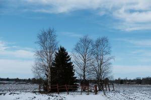 En gran och några kala björkar på en åker med lite snö.
