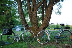 Kaksi pyörää nojaa suorassa vanhaan lehmukseen.