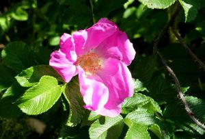 En vresrosblomma med rosa kronblad och en gul mitt.