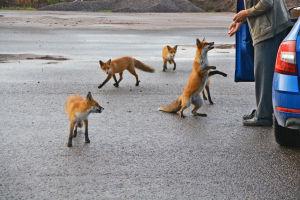 En äldre man matar fem unga rävar.