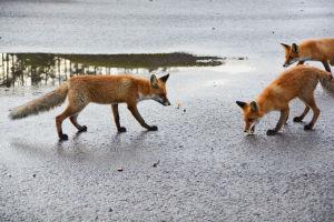 Tre rävar äter korv som ligger på asfalten.