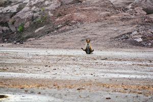 En ung räv drar rumpan mot asfalten.