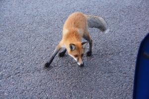 En ung räv tittar noggrant på någonting utanför bilden.