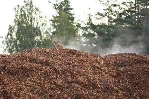 En räv sitter uppe på en ångande flishög och tittar sig över axeln och in i kameran.