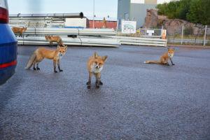 Fem rävar står på ett industriområde, bredvid en blå bil, och tittar in i kameran.