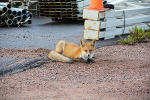 En räv ligger på marken och tittar in i kameran. Bakom räven syns järnrör.