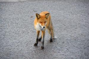 En räv står på asfalt. Den blinkar så att ögonen är slutna.