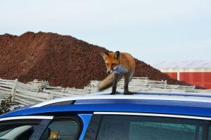 En räv står ovanpå ett biltak och tittar neråt. I bakgrunden syns en annan räv som ligger på asfalten. Rävarna befinner sig på ett industriområde, i bakgrunden syns en hög med stenkross.