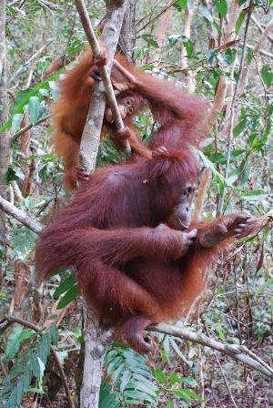 Två orangutanger håller sig uppe i ett träd i tätbevuxen skog.