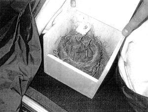 Linnunpoikasia laatikossa