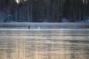 En man står ute på isen. En bit framför honom flaxar en svan. I bakgrunden syns skog.