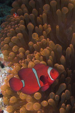 Oranssivalkoinen merivuokkokala.