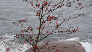 Närbild på en rönn med röda bär mot ett vågigt hav i bakgrunden.