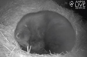 Julia-ahma nukkuu pesälaatikossa Ähtärin eläinpuistossa tassu kuonon päällä kerällä.