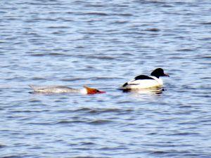 Ett par skrakar där honan simmar platt mot vattnet