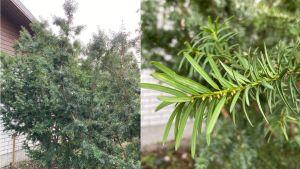 Ett barrträd