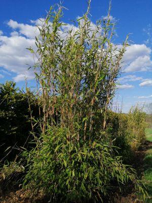 Bambu pandaille, Jari Luokkakallio, Ähtäri