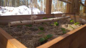 Kesäkurpitsakasvit kasvihuoneessa, Salla Pihavaara, Sodankylä