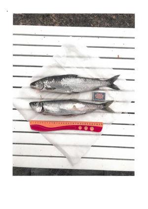 Kuva kaloista ja mitasta.
