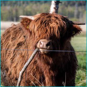 En highlandko som står bakom ett elstängsel