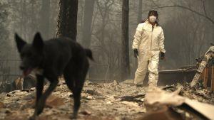 Räddningsarbetarna har hjälp av hundar då de letar efter kvarlevor i ruinerna i Paradise.