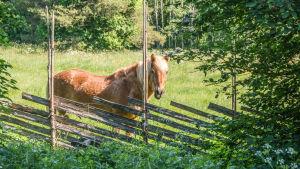Finsk häst i hage