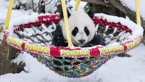 Babypanda i sin första snö i gunga.