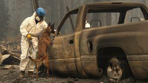 En kadaverhund - en schäfer - står på bakbenen vid en utbränd bil. Uppdraget är att nosa efter döda mänskor efter skogsbranden i Kalifornien.