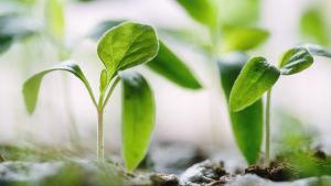 kasvien taimia