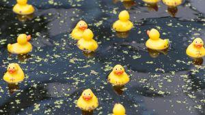 Plastankor simmar i en damm.