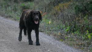 Choko står på en sandväg, tungan hänger ut från munnen
