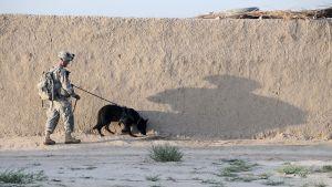 Amerikansk soldat med bombhund på patrull i Kandahar år 2011, då kriget var nästan tio år gammalt.