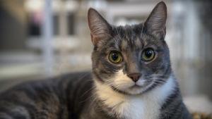 Svartgrå katt med gröna ögon.
