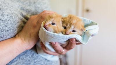 två orangea kattungar inlidade i en duk i händerna på en människa