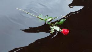 En ros flyter på vattnet.