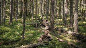 Omkullvälta träd i skogen.