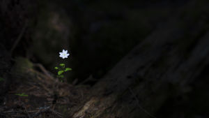 En liten vit blomma i en mörk skog.