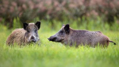 Två vildsvin i gräset