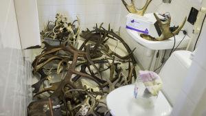 Sotade djurhorn ligger utspridda i en wc.