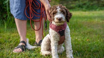 en hund sitter på gräset och blir pajad av en människa.