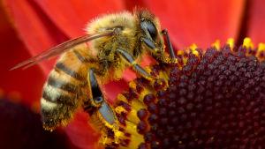 Närbild av ett bi som äter nektar.
