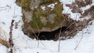Mårdhundsgryt under en stor sten.