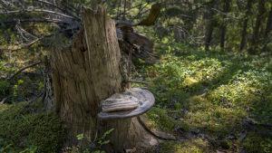 En gammal stubbe med en fnösticka eller annan svamp som växer ut från stammen.